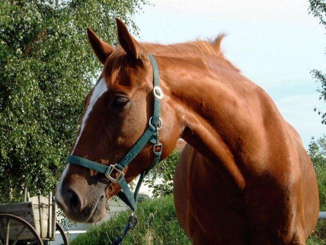 До чого сниться кінь