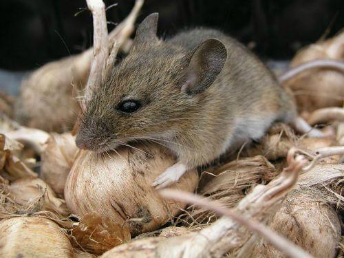 Як позбутися мишей і інших гризунів