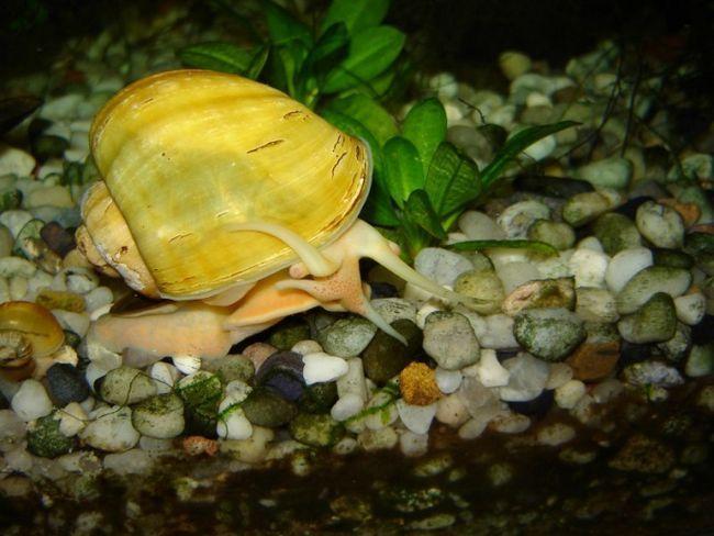 годування акваріумних равликів