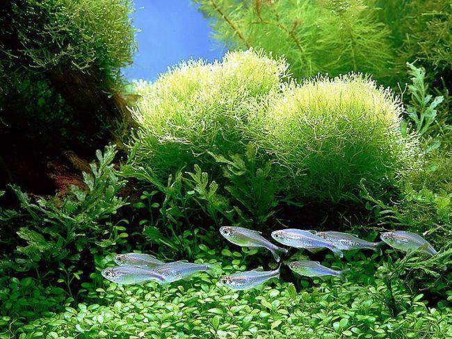 як чистити акваріум з рибками