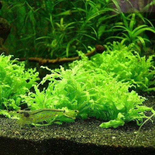 Як виростити акваріумні рослини з насіння