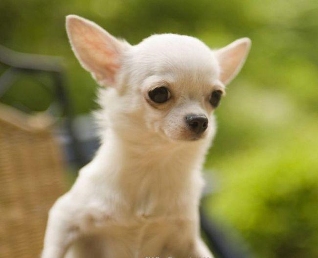 як отримати ветпаспорт на собачку