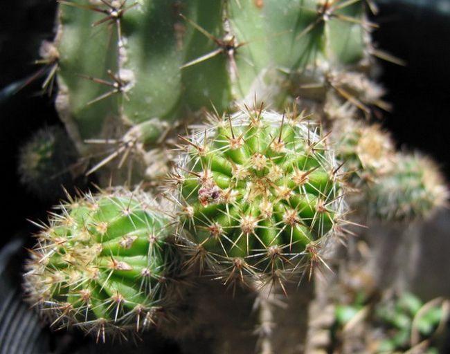 Їстівні кактуси